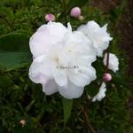 Camellia Cinnamon Cindy (1)