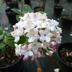 Viburnum carlesii Diana (3)