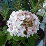 Viburnum carlesii Diana (1)