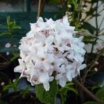 Viburnum carlesii Diana (2)