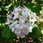 Viburnum carlesii (1)