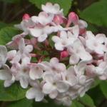 Viburnum carlesii Aurora (2)