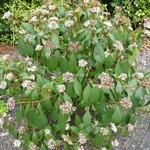 Viburnum cinnamomifolium (2)