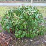 Viburnum cinnamomifolium (4)