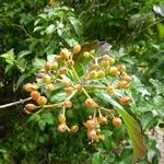 Viburnum congestum (3)