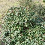 Viburnum davidii Angustifolia (2)