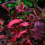 Viburnum nudum Pink Beauty (7)