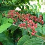 Viburnum plicatum Cascade (2)