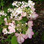 Viburnum plicatum Molly Shroeder (2)
