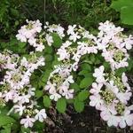 Viburnum plicatum Molly Shroeder (1)