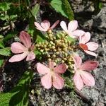 Viburnum plicatum Molly Shroeder (6)