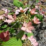 Viburnum plicatum Molly Shroeder (7)