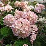 Viburnum plicatum Pink Sensation (2)