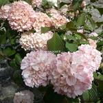 Viburnum plicatum Pink Sensation (3)