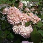 Viburnum plicatum Pink Sensation (4)
