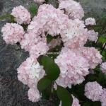Viburnum plicatum Pink Sensation (5)