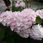 Viburnum plicatum Pink Sensation (6)