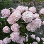 Viburnum plicatum Pink Sensation (7)