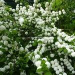 Viburnum plicatum Rosace (1)