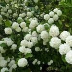 Viburnum plicatum Rosace (2)
