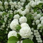 Viburnum plicatum Rosace (3)