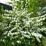 Viburnum plicatum Rosace (5)