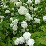 Viburnum plicatum Rosace (7)