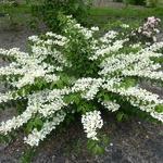 Viburnum plicatum St Keverne