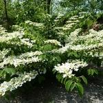 Viburnum plicatum St Keverne (1)