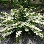 Viburnum plicatum St Keverne (2)