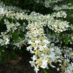 Viburnum plicatum St Keverne (3)