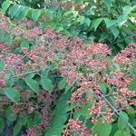 Viburnum plicatum St Keverne (4)