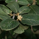 Viburnum x carlcephalum (2)