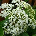 Viburnum japonicum (4)