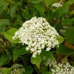 Viburnum japonicum (1)