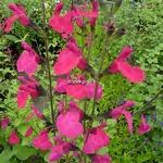 Salvia Fantasia (3)