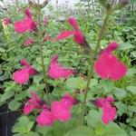 Salvia Fantasia (4)