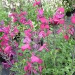 Salvia Fantasia (2)