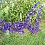 Salvia Indigo Spire (2)