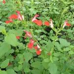 Salvia Hot Lips (4)