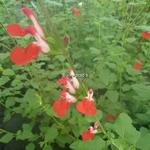 Salvia Hot Lips (3)