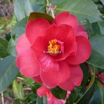 Camellia Freedom Bell (2)