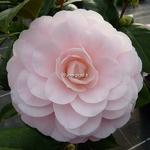 Camellia japonica Nuccio's Cameo (2)