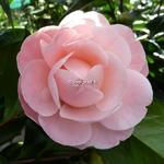 Camellia japonica Nuccios Cameo