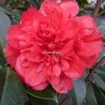 Camellia japonica Volcano