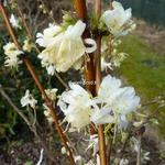 Lonicera fragrantissima (2)
