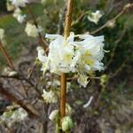 Lonicera fragrantissima (3)