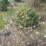 Lonicera fragrantissima (4)