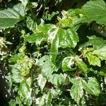 Ampelopsis Elegans (1)