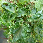 Hedera helix Ivalace (1)
